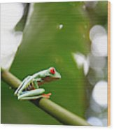 Red Eyed Tree Frog, Agalychnis Wood Print