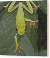 Red-eyed Tree Frog Costa Rica Wood Print