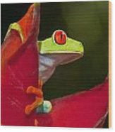 Red Eyed Tree Frog 3 Wood Print