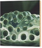 Red-eyed Tree Frog Eggs Wood Print