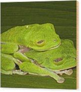 Red-eyed Tree Frogs In Amplexus Sleeping Wood Print