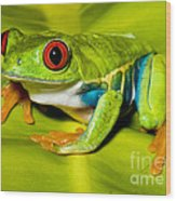 Red-eyed Treefrog Wood Print