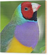 Red Faced Gouldian Finch Wood Print