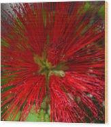 Red Fairy Duster Calliandra Californica Wood Print