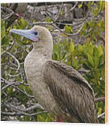 Red-footed Booby Galapagos Islands Wood Print