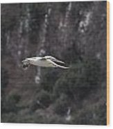 Red Footed Booby In Flight Wood Print
