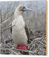 Red-footed Booby Wood Print