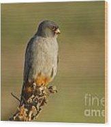 Red Footed Falcon Falco Vespertinus 4 Wood Print