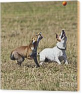 Red Fox Cub And Jack Russell Playing Wood Print by Brian Bevan