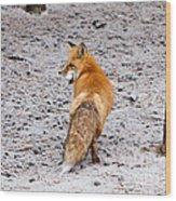 Red Fox Egg Thief Wood Print