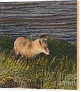 Red Fox Hunting The Edges At Sunset Wood Print
