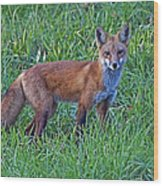 Red Fox In A Field Wood Print