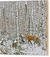 Red Fox In Birches Wood Print