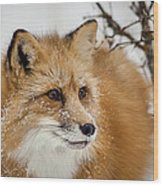 Red Fox In Snow Wood Print