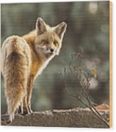 Red Fox In The Sunset Wood Print
