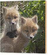 Red Fox Kits Playing Alaska Wood Print