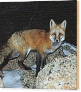 Red Fox - Piercing Eyes Wood Print