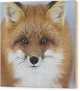 Red Fox Staring At The Camerachurchill Wood Print