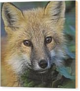 Red Fox Vulpes Vulpes, Gros Morne Wood Print