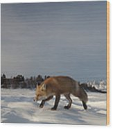 Red Fox Walking In Snow Alaska Wood Print