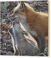 Red Fox With Kits Wood Print