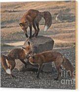 Red Foxes Vulpes Fulva Wood Print