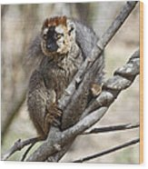 Red-fronted Lemur  Eulemur Rufifrons Wood Print