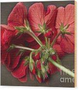 Red Geranium In Progress Wood Print