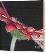 Red Gerbera 4 Wood Print