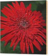Red Gerbera Daisy Delight Wood Print