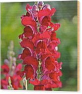 Red Snapdragon Wood Print