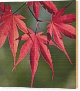 Red Japanese Maple Leafs Wood Print