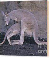 Red Kangaroo. Australia Wood Print