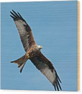 Red Kite In Flight Wood Print