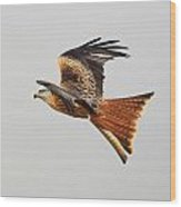 Red Kite Soaring Wood Print