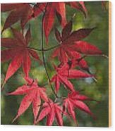 Red Leafs Of The Maple Wood Print