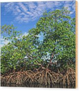 Red Mangrove East Coast Brazil Wood Print by Pete Oxford