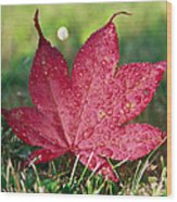 Red Maple Leaf And Dew Wood Print