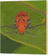 Red Milkweed Beetle Wood Print