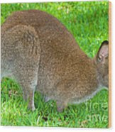 Red Necked Wallaby Wood Print