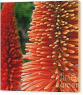 Red-orange Flower Of Eremurus Ruiter-hybride Wood Print
