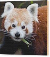 Red Panda  Ailurus Fulgens Eating Wood Print