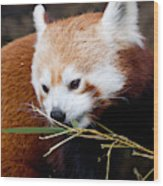 Red Panda  Ailurus Fulgens In Captivity Wood Print
