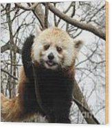 Red Panda Bear In A Tree Wood Print
