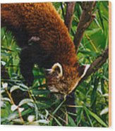 Red Panda Tree Climb Wood Print