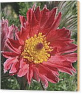 Red Pasque Flower Wood Print