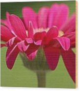 Red Pink Daisy Wood Print