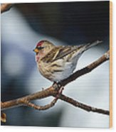 Red Poll Wood Print