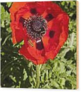 Red Poppy And Bee Wood Print