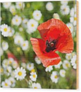 Red Poppy With Daisies On Flower Meadow Wood Print